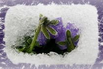 Two purple pansies von feiermar