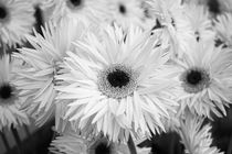 Black & White Daisys von Tobia Nooke