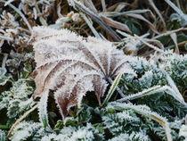 Blatt mit Rauhreif auf einer Wiese im Winter 1 by dresdner