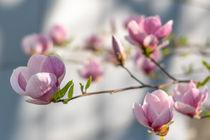 Magnolia | Magnolie von Tobia Nooke