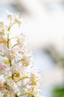 Kastanienblüte von Tobia Nooke