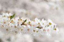 Kirschblüte | cherry blossom by Tobia Nooke