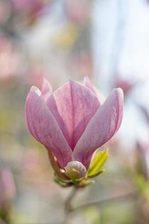 Magnolia blossom | Magnolienblüte von Tobia Nooke