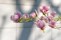 Magnolia | Magnolienzweig von Tobia Nooke
