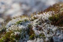 Moos im Winter | moss in winter von Tobia Nooke