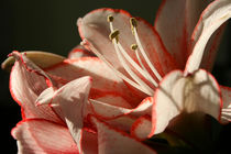 Amaryllis im Sonnenschein von Tobia Nooke