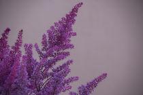 Lilac Flower von Tobia Nooke