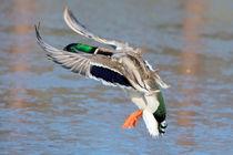 Ente im Flug von Astrid Steffens
