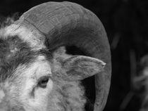 Sheep by Thomas Thon