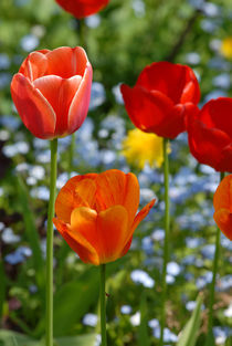 Tulips von Thomas Thon