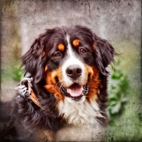 Bernersennenhund-2