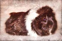 Retro Rosettenmeerschweinchen von kattobello