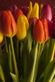 Window Light with Multicolored Tulips von Jim Corwin