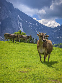 Schweizer Braunvieh vor Alpenkulisse by ullrichg