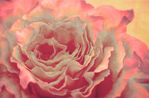 Beautyful Rose by AD DESIGN Photo + PhotoArt