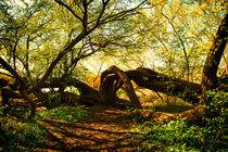 alter Baum am Achterwasser by Rolf Müller