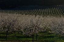 almond blossom trees by JOMA GARCIA I GISBERT