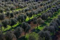 Olive field by JOMA GARCIA I GISBERT