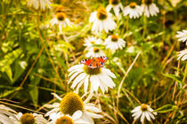 Butterfly on a daisy by Marie Selissky