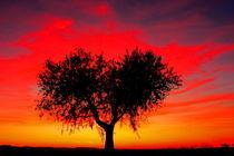 heart-shaped olive tree  by JOMA GARCIA I GISBERT