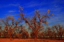flowering of almond trees by JOMA GARCIA I GISBERT