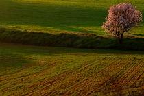 Alone flowering almond tree in the field by JOMA GARCIA I GISBERT