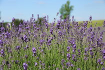 Lavendel von alsterimages