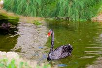 Black Swan 3 von Marie Selissky