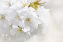 Kirschblüte by Violetta Honkisz