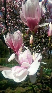 Magnolien  von Rena Rady