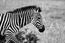 African Zebra   by Aidan Moran