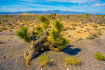 The Joshua Tree von inside-gallery