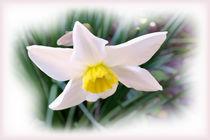 Narcissus bright shades von feiermar