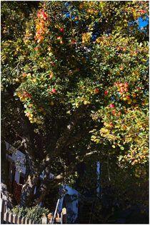 Apfelbaum von joval