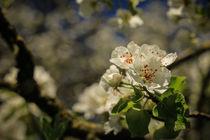 Birnbaumblüten by Christine Horn