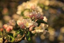 Apfelzweig mit Blüten und Knospen von Christine Horn