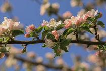 Apfelzweig mit Blüten und Knospen vor blauem Himmel von Christine Horn