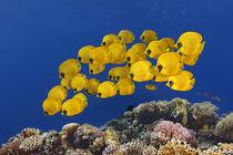 Red Sea Butterflies von Norbert Probst