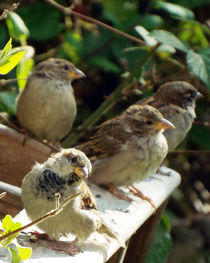 Four Young Sparrows 01 von GEORGE ELLIS