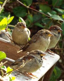 Four Young Sparrows 02 von GEORGE ELLIS