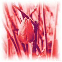 Tulpen - 2020 - 3 by maja-310