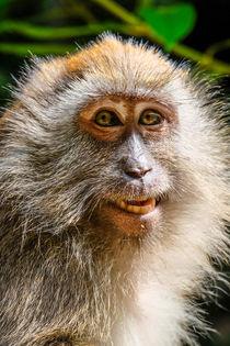 Portrait einer Affendame von Claudia Schmidt