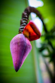 Bananenblüte von Claudia Schmidt