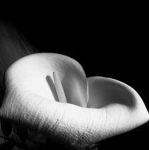 Calla - Artphotograph von Jovica Noah Kostic
