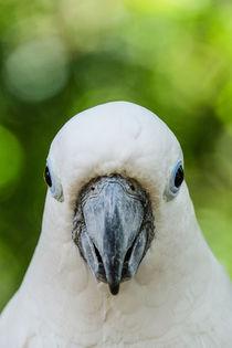 Der weiße Kakadu #2 von Claudia Schmidt