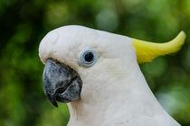 Der weiße Kakadu #1 von Claudia Schmidt
