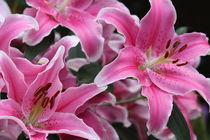 Asiatische Lilie von alsterimages