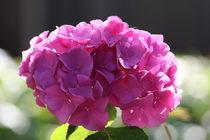Hortensie rosa von alsterimages