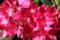 Rododendron pink von alsterimages