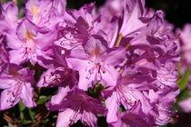 Rododendron rosa von alsterimages